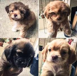 Se venden cachorritos de raza Shih Tzu