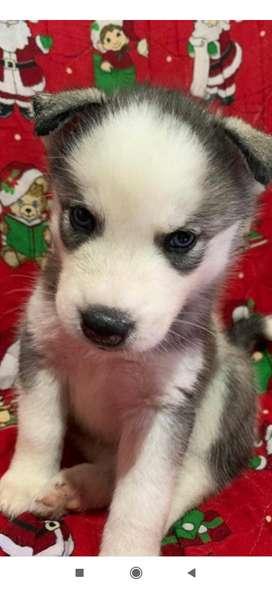 Se venden cachorros siberianos