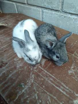 Vendo hermosos conejos cabeza de León