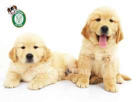 Golden Retriever en Pet Vital