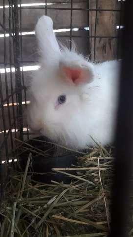 Conejo de raza