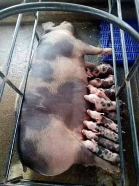 Vendo cerdos