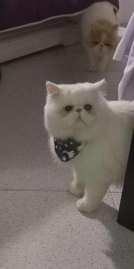 Gato persa extremo ojos azules para monta