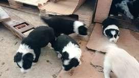 BORDER COLLIE SUPER PELUDOS Son los más hermosos y bellos cachorros de la raza 100% puros, con su esquema de vacunas