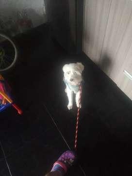 Se vende perro schnauzer  blanco