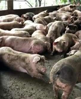 Vendo cerdos raza pietran buen precio  Solo interesados Tlf