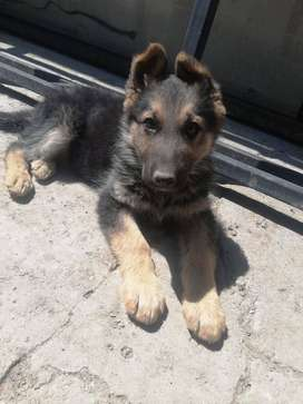 Se vende Cachorrito pastor aleman