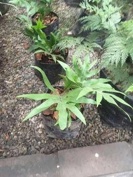 calahuala planta