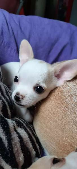 Cachorro chihuahua cabeza de manzana macho