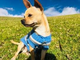Chihuahua para montas gratis