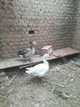 Vendo pareja de gansos