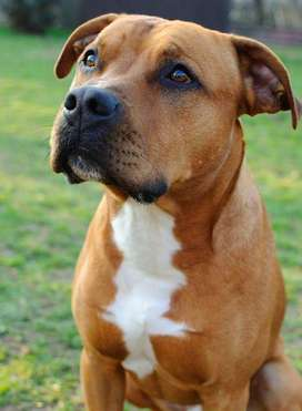 servicio de monta para perro american pitbull terrier