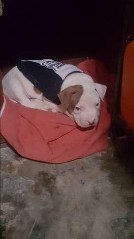 Pitbull fusion bulldog