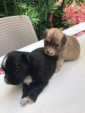 Cachorros French Poodle hembra y macho a la venta.