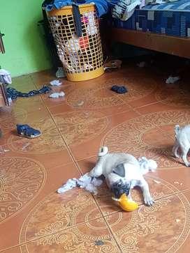 perro macho de raza pug
