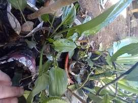 gp1160 Drimiopsis maculata