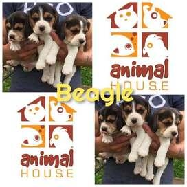 Beagle Referencia34