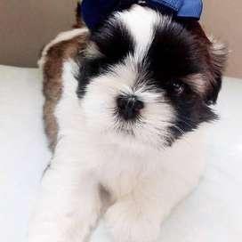 mimados cachorros shitzu de 55 dias de vida