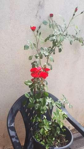 Mini Rosa Trepadora