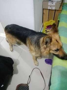 perrito pastor alemán necesita una perrita pastor alemán para reproducción