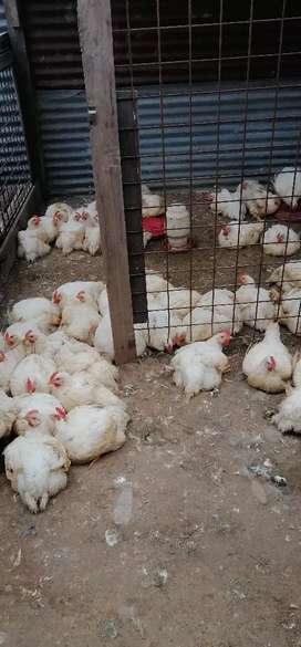 Venta de pollos SEMIACRIOLLADOS