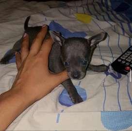 Chihuahua gris fuego- hembra!!