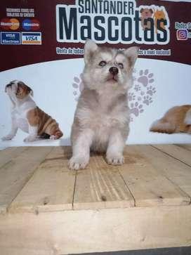 Extraordinarios huskys siberianos de 45 días de edad