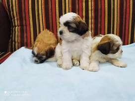 Bellos cachorros Shih tzu blancos chitzu