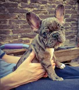 Exelente bulldog francés, merle