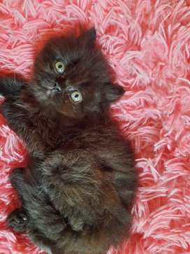 Gatos persa 2 medes de edad