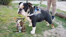 Bulldog Ingles Black Tri Servicio Stud