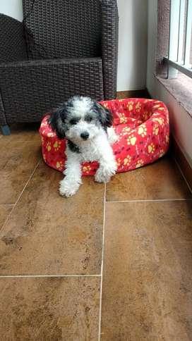 French poodle Minitoy Macho