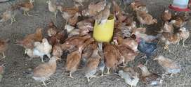 Pollas huevo azul criollas