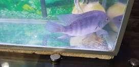 Vendo hermoso pez ciclido