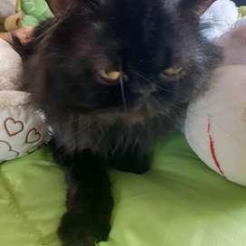 Se busca novia a esta bebé hermoso gato persa
