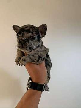 Precioso y exotico Bulldog Frances Merle, lindos colores, 70 dias de nacido.