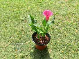 cala enana planta por mayor y menor