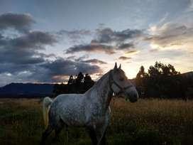 vendo caballo raza lucitano permuto por carro o moto