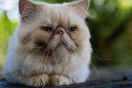 Gato persa extremo himalayo para montas