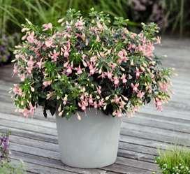 Fuchsia planta.