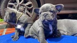 Bulldog frances blue lilac solidos con ojos azules