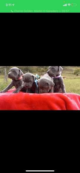 Cachorra mastin napolitano hembra