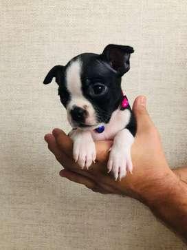 Boston terrier hembra