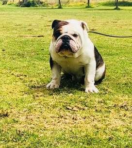 Bulldog Ingles disponible para montas (Gen Black)
