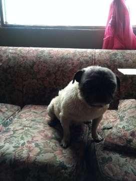 Vendo Hermosas Pug
