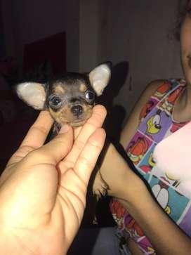En venta cachorrita chihuaha de 1 mes y medio