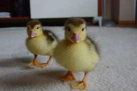 Patos chilenos bebés , para entregar el 23 enero, excelentes mascotas.