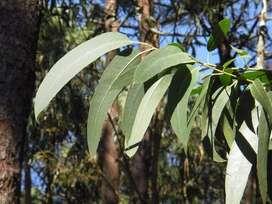 semillas de eucalipto planta
