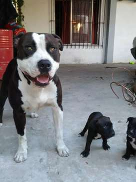 Pitbull cachorros puros