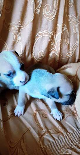 Perros Pitbul cachorros